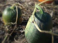 Pumpkin patch green vines