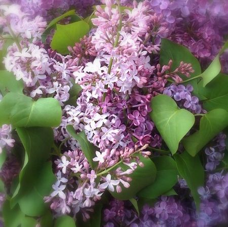 May lilacs-cropped